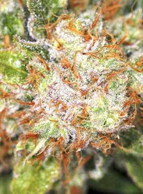 Заказать семена конопли для открытого грунта сколько содержится марихуана в организме