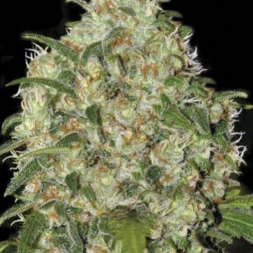 Семена Amnesia Platinum feminized