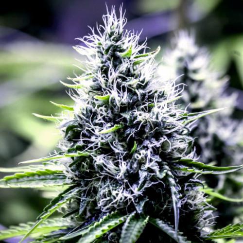 Семена Auto Blueberry