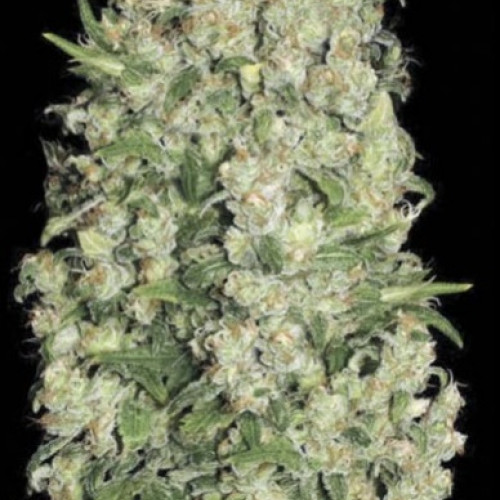 Семена  White Prussian feminized