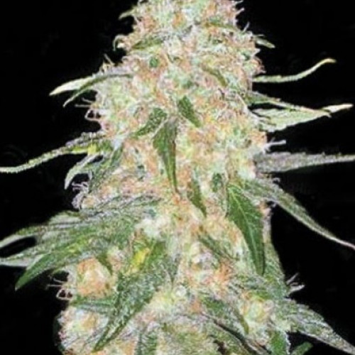 Семена  Super Skunk feminized