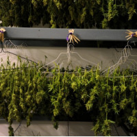Конопля сушка на плите марихуана как часто поливать