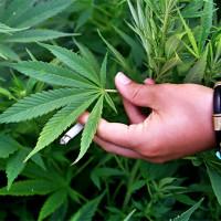 Выращивание и уход конопли кто курил марихуану и их истории