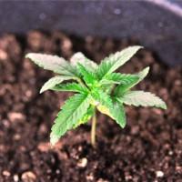 Чем можно удобрить марихуану петлюра конопля слушать i