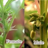Конопля фото мужского пола рассада конопляных семян фото