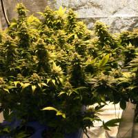 Выращивание конопли в домашний условиях способ выращивания марихуаны