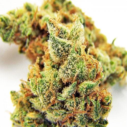 Семена марихуана Auto Critical Rapido fem