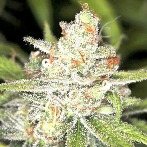 Семена марихуана Auto Candy