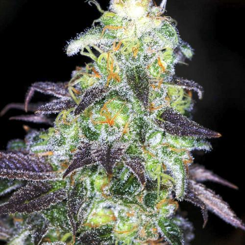 Семена марихуана Auto Kabul