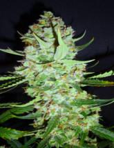 Семена конопли Green Gelato Feminised
