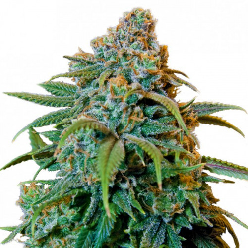 Семена Liberty Haze Feminised