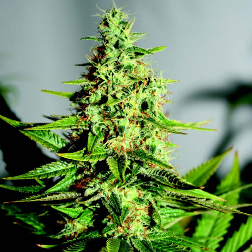 Семена Acapulco Gold Feminised