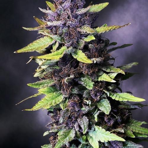 Семена Kabul & Purple