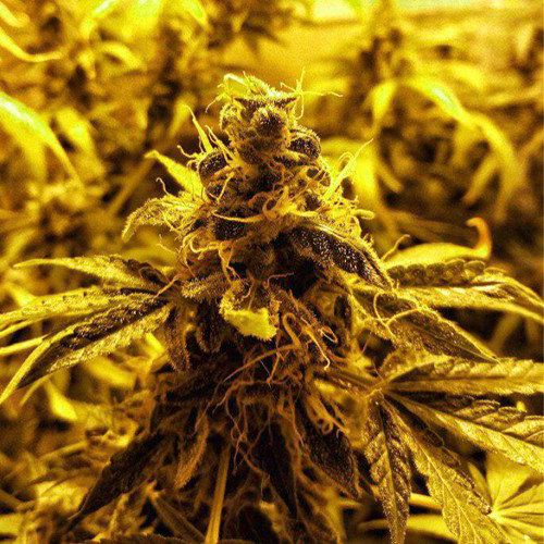 Семена марихуана Auto Moon Rock