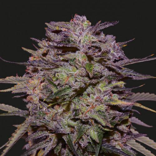 Семена Auto Blueberry fem