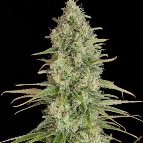 Семена LSD