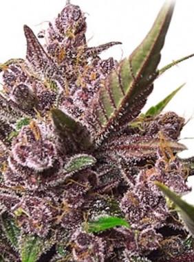 Семена марихуаны казахстан марихуана штаты сша