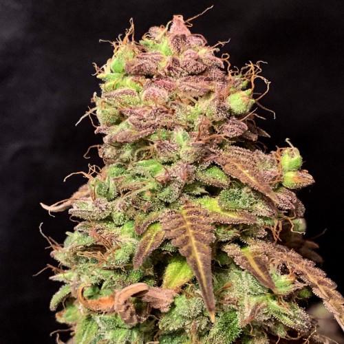 Семена PolarLight #3