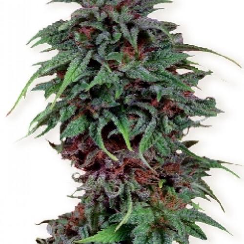Семена Durban Poison