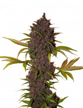 Семена конопли LSD-25