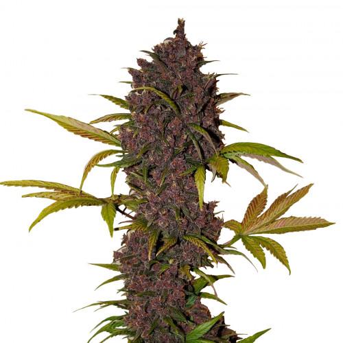 Семена LSD-25