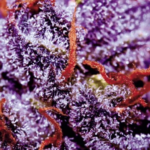 Семена Auto Purple Opium
