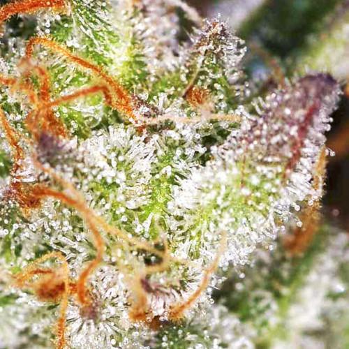 Семена марихуана Afghanistan Lights