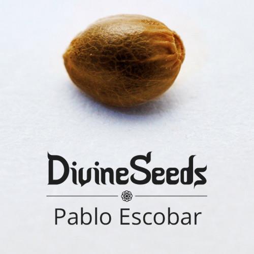 Купить семена Pablo Escobar