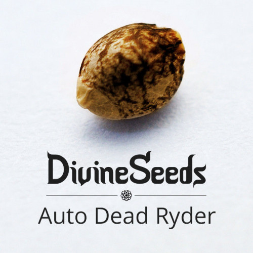 Семена Auto Deadryder - фото 1