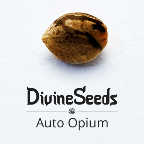 Купить семена Auto Opium - фото 1