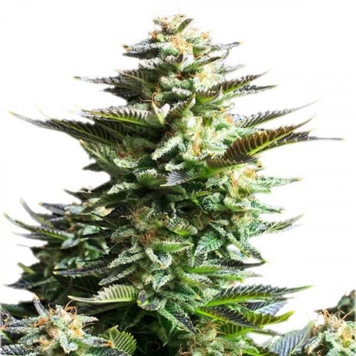Семена марихуана Amnesia Haze