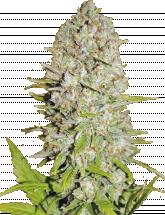 Семена конопли AUTO Pineapple Express