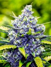 Семена конопли Blue Cheese