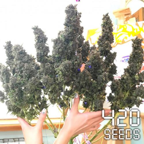 Семена Auto Green Crack - фото 1