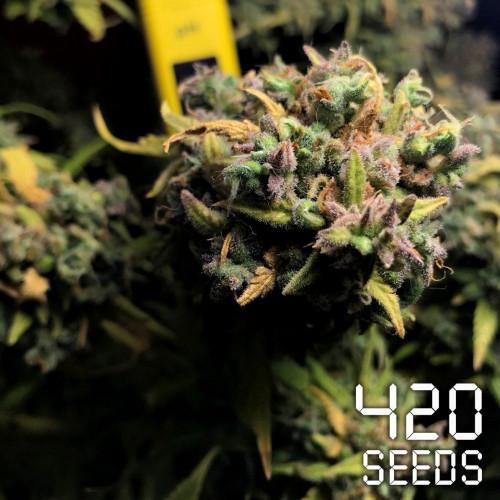 Семена марихуана Auto Brooklyn Sunshine