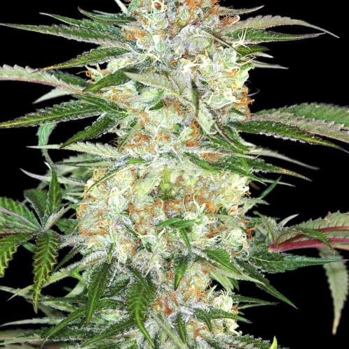 Семена Divine Sativa