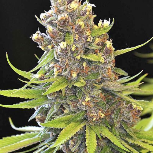 Лучшие сорта конопли для помещения марихуана цена
