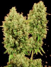 Семена конопли LSD