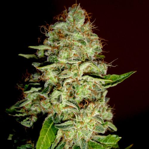 Семена марихуана Mazar-dutch