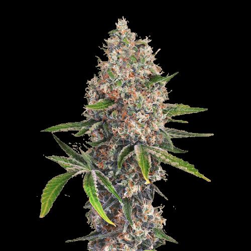 Семена марихуана OG Kush