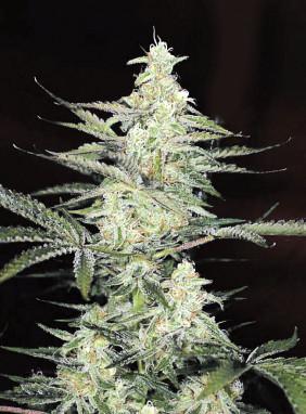 Большие сорта конопли семена марихуана трубки купить