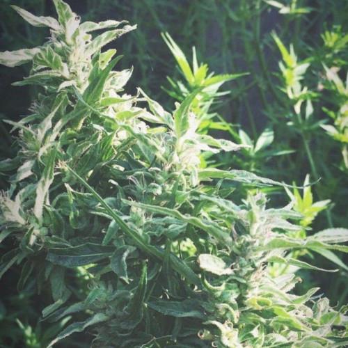 Семена марихуана Amnesia Haze feminized