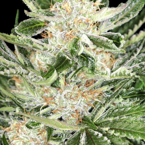 Семена марихуана White Widow
