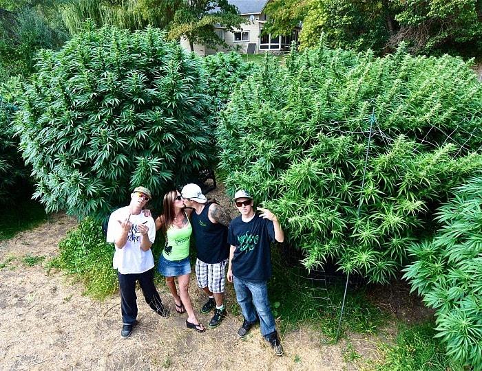 сорта марихуаны для Украины