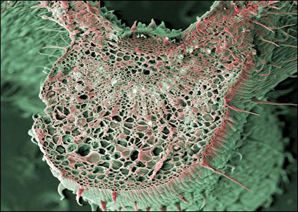 Клетка марихуаны из дички конопли