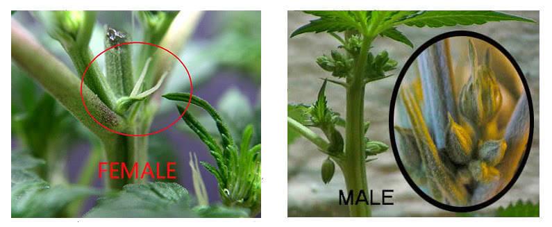 Половая принадлежность конопли купить конопляные семена ак 47 в москве