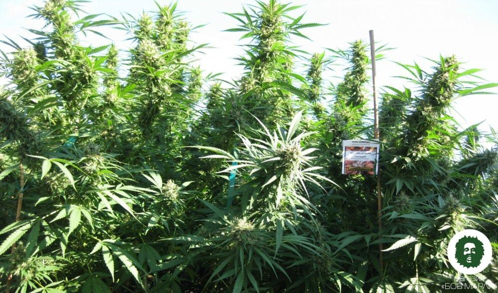 Выращивание марихуаны и в открытом грунте смотреть кино про коноплю
