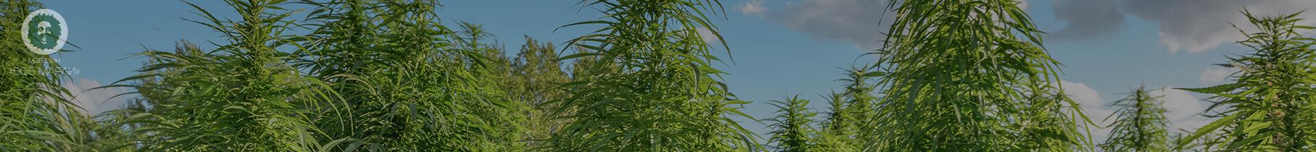 медицинские сорта марихуаны