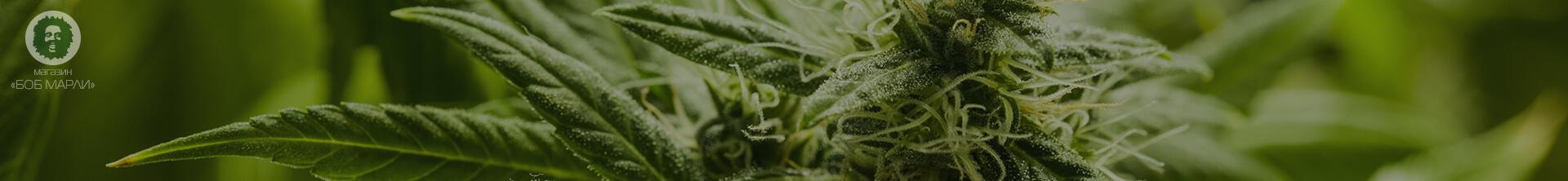 dwarf varieties of marijuana